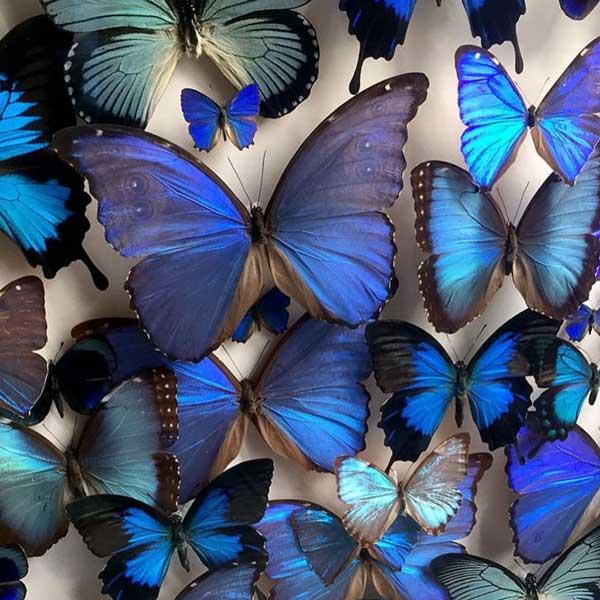 Cabinet of Design butterflies